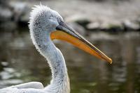 Portrait of Pelican with yellow beak