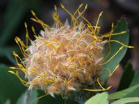 Flower in bloom, Kings Park, Perth, Western Australia, Australia
