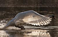 Mute swan taking off lake