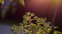 Green plant at sunset
