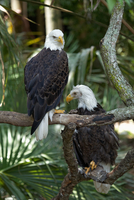 Bald eagles perching on branch