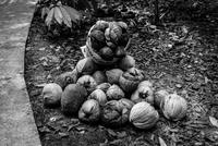Heap of dried coconuts, Ben Tre, Vietnam