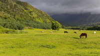 Horses grazing in field, Hanalei, Hawaii