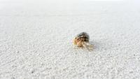 Hermit Crab on sand, Maldives