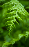 Close-up of fern, Columbia River Gorge, Oregon, USA