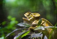 Yellow chameleon (Chamaeleonidae) on branch