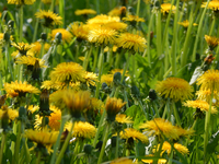 Meadow with common dandelion (Taraxacum officinale) in close-up, Poland