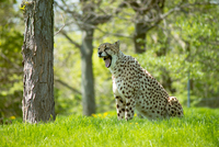 Jaguar (Panthera onca) sitting on grass and roaring, Canada