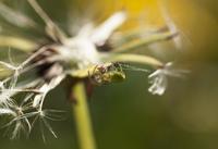 Green spider (Araneae) on seed head of dandelion (Taraxacum)