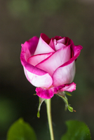 Pink rose in close-up