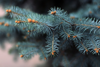 Close up of Blue spruce (Picea pungens)