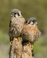 Two kestrels perching on stump, Ontario, Canada