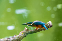 Kingfisher in rain perching on branch