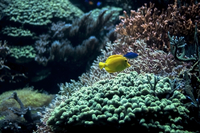 Yellow tang (Zebrasoma flavescens) fish swimming near coral reef