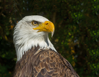 Portrait of bald eagle looking away from camera, Ontario, Canada