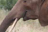 Close up of african elephant, Ngorongoro Crater, Tanzania