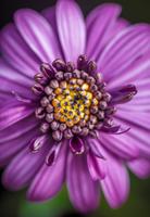 Close up of Daisy (Bellis perennis)