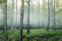 Birches (Betula) in fog, Russia
