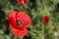 Close-up of red corn poppy flower against blurry background