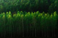 White birch forest, Hokkaido, Japan