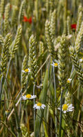 Close-up of chamomiles and wheat grass