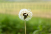Close up of dandelion, Iceland