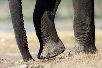 Close up of elephant feet and trump, Chobe National Park, Botswana