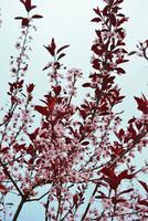 Close up of Sand Cherry tree (Prunus pumila) branches