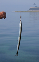 Garfish (Belone belone) fish caught on hook, Denmark
