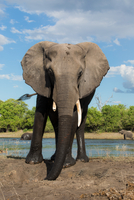 African elephant with broken tusk in Chobe National Park, Botswana