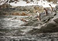 Gentoo penguins (Pygoscelis papua) on rocks, Antarctica