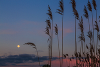 Moon and reed after sunset, Poland