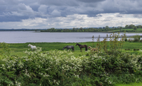 Horses in meadow, Lanesborough, Ballyleague, Ireland