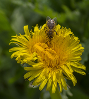 Close up of bee perching on yellow flower