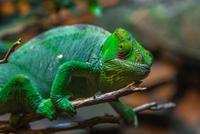 Common chameleon (Chamaeleo chamaeleon) climbing branch