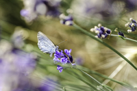 Close-up of butterfly on lavender
