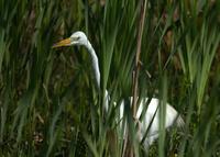Crane standing in grass
