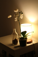 Orchidaceae (Orchidaceae Juss) in pot, flower in bottle and lamp