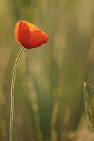 Red Poppy flower in bloom