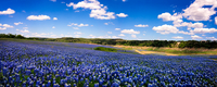 Field of bluebonnets, Texas, USA
