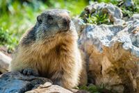 Portrait of marmot, Verona, Italy