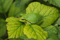 European tree frog with fly on nose