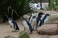 Six young penguins in zoo, Sydney, New South Wales