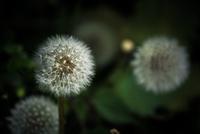 Seed head of common dandelion (Taraxacum officinale)