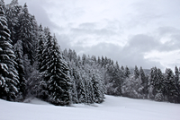 Pinewood (Pinus L.) and snow, Austria
