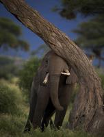 Elephant scratching, Kenya