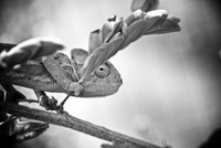 Portrait of chameleon 11098045151| 写真素材・ストックフォト・画像・イラスト素材|アマナイメージズ