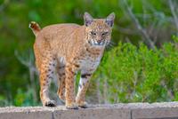 Portrait of bobcat (Lynx rufus), California, USA