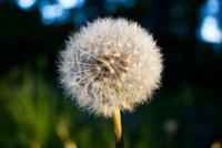 Close-up of dandelion (Taraxacum)