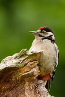 Portrait of Red head woodpecker (dendrocopos major), Strasbourg, France 11098045330| 写真素材・ストックフォト・画像・イラスト素材|アマナイメージズ